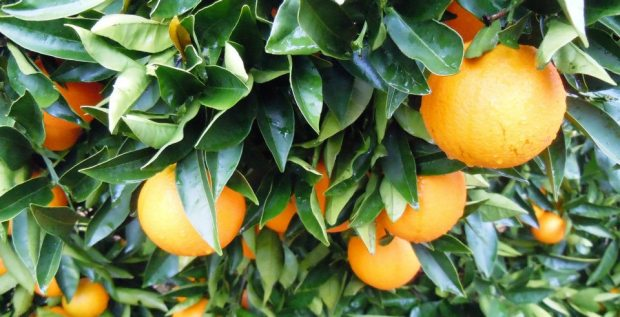 Oranges trees in Perth, Australia.